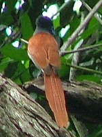 Paradise Flycatcher Female