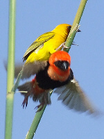 Southern Red Bishop & Masked Weaver