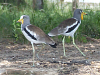 Wattled Lapwing (plover)
